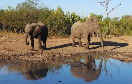 elephants, kruger - Copy